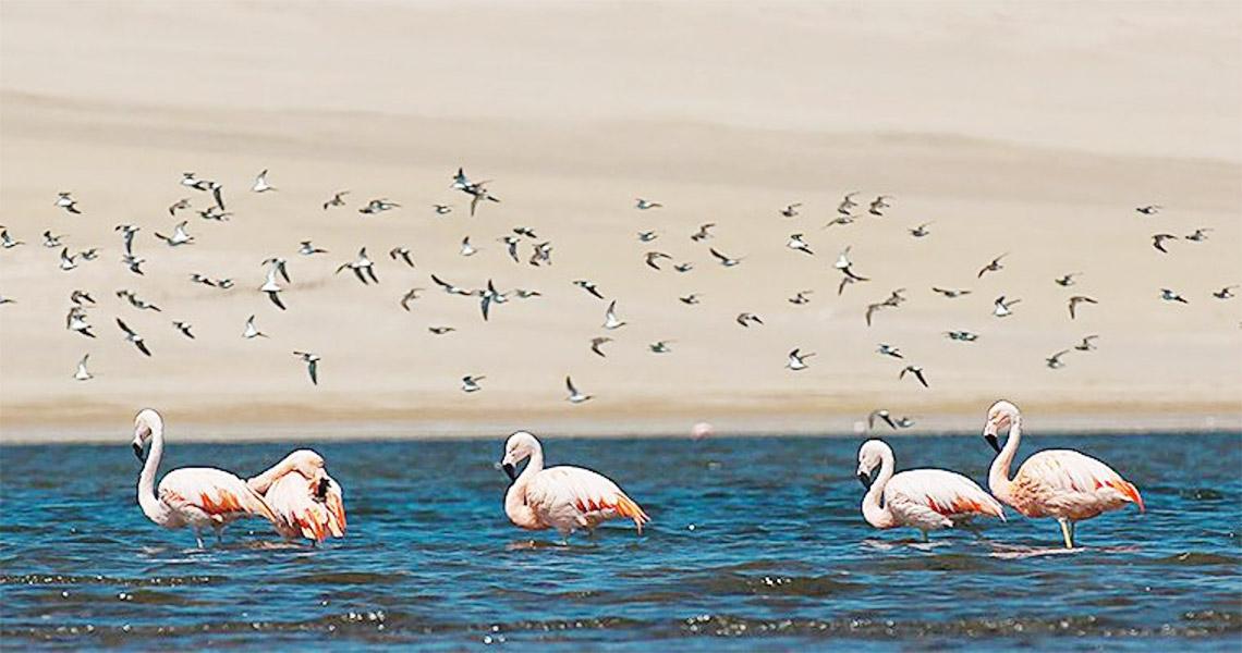 Peru Paracas Reserve Flamingoes Ayni Peru