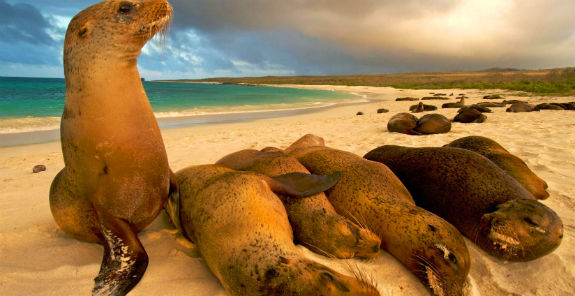 Galapagos Sea Lions Beach 575x296