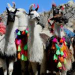 Andean Ceremonies Llama Blessing